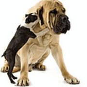 Boston Terrier And Mastiff Art Print