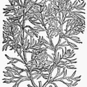 Botany: African Rue, 1597 Art Print