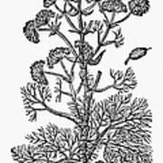 Botany: Giant Fennel, 1597 Art Print