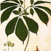 Botany: Ginseng Art Print