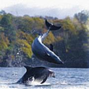 Bottleneck Dolphin Playing Art Print