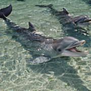 Bottlenose Dolphin In Shallow Lagoon Art Print