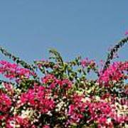 Bougainvillea Flowers Art Print