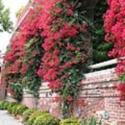 Bougainvillea Wall In San Francisco Art Print