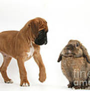 Boxer Puppy With Lionhead-lop Rabbit Art Print by Mark Taylor