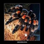 Brachypelma Smithi - Redknee Tarantula Art Print