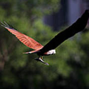 Brahminy Kite With Catch  Art Print