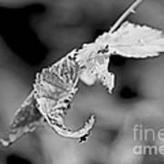 Bramble Leaves - Black And White Art Print