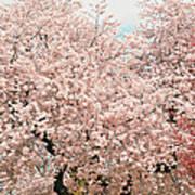 Branch Brook Cherry Blossoms Iv Art Print