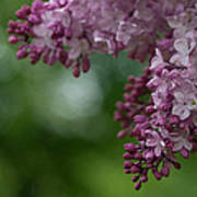 Branch With Spring Lilac Flowers Art Print