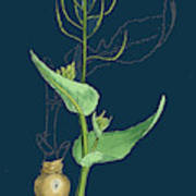 Brassica Rapa Common Turnip Art Print By English School