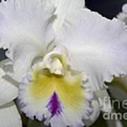 Brassocattleya Orchid 5292 Art Print