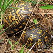 Breeding Box Turtles Art Print