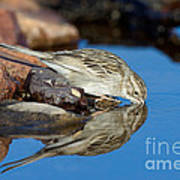Brewers Sparrow At Waterhole Art Print