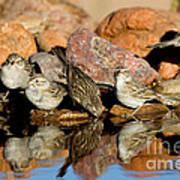 Brewers Sparrows At Waterhole Art Print