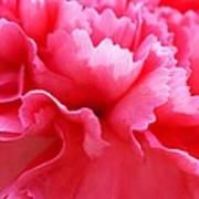 Bright Carnation Art Print