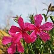 Bright Phlox Blooms Art Print