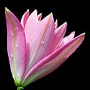 Bright Pink Trumpet Lily  Art Print
