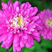 Bright Pink Zinnia Flowers Art Print