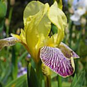 Bright Yellow Purple Iris Flower Irises Art Print