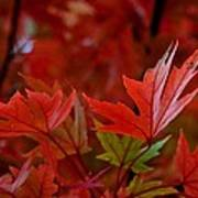 Brilliant Red Maples Art Print by Linda Unger