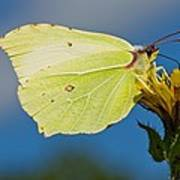 Brimstone Butterfly Art Print