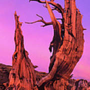 Bristlecone Pine At Sunset White Mountains Californa Art Print