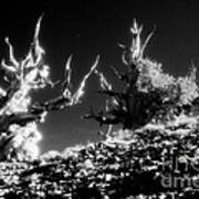 Bristlecone Twins In Infrared Art Print