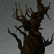 Bristlecone With Star Trails Art Print