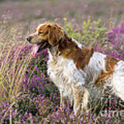 Brittany Dog, Standing In Heather, Side Art Print
