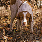 Brittany Spaniel Pixel's Pointed Woodcock Art Print