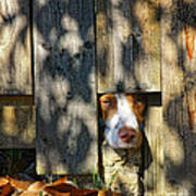 Brittany Watching Through The Fence Art Print