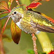 Broad Tailed Hummingbird Art Print