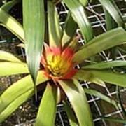 Bromeliad In Barbados Art Print