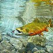 Brook Trout And Artificial Fly Art Print