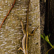 Brown Anole Lizard In Florida Art Print