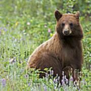 Canadian Bear Art Print