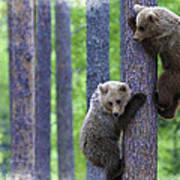 Brown Bear Climbing Lesson Art Print