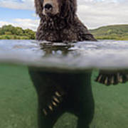 Brown Bear In River Kamchatka Russia Art Print