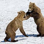 Brown Bear Ursus Arctos Cubs Play Art Print