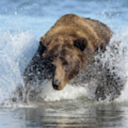 Brown Bear, Ursus Arctos, Fishing Art Print