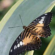 Brown Clipper Butterfly #4 Art Print