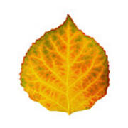 Brown Green Orange Red And Yellow Aspen Leaf 3 Art Print