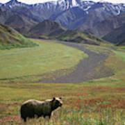 Brown Grizzly Bear In Denali National Art Print
