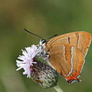 Brown Hairstreak Art Print
