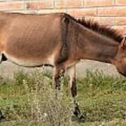 Brown Mule In Cotacachi Art Print