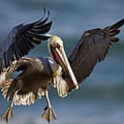 Brown Pelican Flying California Art Print