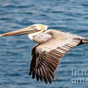 Brown Pelican Flying Art Print