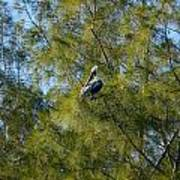 Brown Pelican In The Trees Art Print