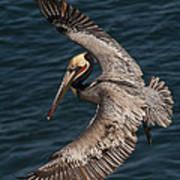 Brown Pelican Landing 2 Art Print
